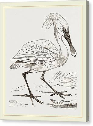 Spoonbill Canvas Print by Litz Collection