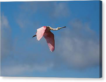 Canvas Print featuring the photograph Spoonie In Flight by John M Bailey