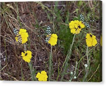 Spoonwing Lacewings On Achillea Flowers Canvas Print