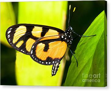 Spotted Amberwing Butterfly Canvas Print by Millard H. Sharp