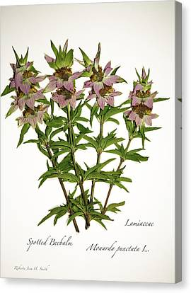 Spotted Beebalm 1 Canvas Print