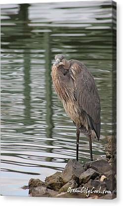 Spotted By A Great Blue Heron Canvas Print by Robert Banach