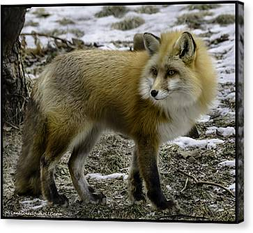 Spotted By A Red Fox Canvas Print