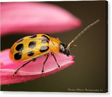 Spotted Cucumber Beetle Canvas Print by Dianna Wilson