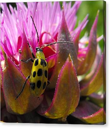 Spotted Cucumber Beetle Canvas Print by Jolie Bell