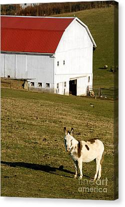 Spotted Donkey Looks Uninterested Canvas Print by Amy Cicconi