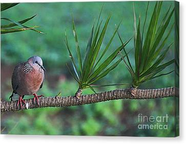 Spotted Dove Canvas Print by Elizabeth Winter
