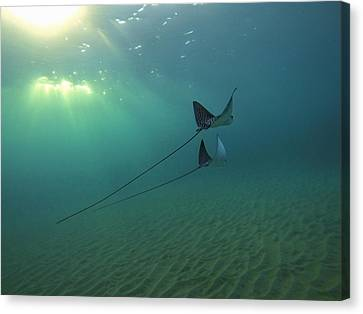 Spotted Eagle Rays During Sunset Canvas Print