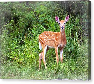 Spotted Fawn Canvas Print by Marty Koch