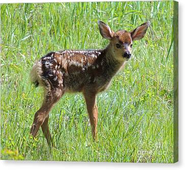 Spotted Fawn  Canvas Print