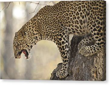Spotted Fury Canvas Print by Alison Buttigieg