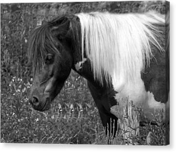 Spotted Pony Canvas Print by Joyce  Wasser