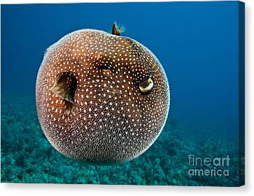 Spotted Pufferfish Canvas Print by David Fleetham