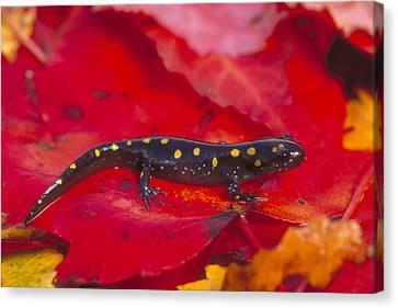 Spotted Salamander Canvas Print by Paul J. Fusco