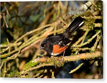 Spotted Towhee Canvas Print by Kathy King
