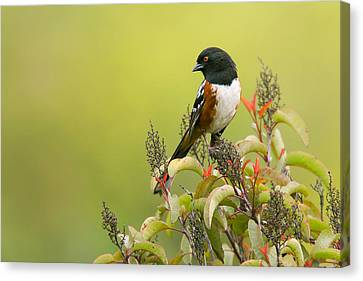 Canvas Print featuring the photograph Spotted Towhee by Ram Vasudev
