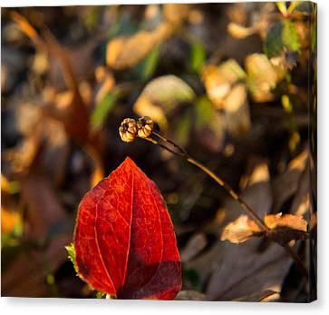 Magnoliopsida Canvas Print - Spotted Wintergreen Seedpod And Sawbriar Leaf by Douglas Barnett