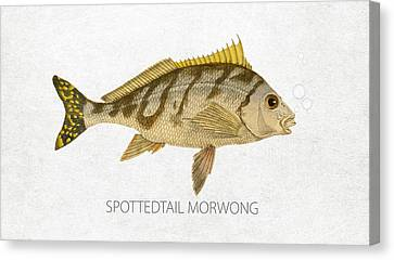 Spottedtail Morwong Canvas Print by Aged Pixel