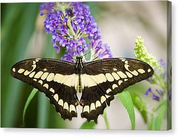 Spread Your Wings My Little Butterfly  Canvas Print by Saija  Lehtonen
