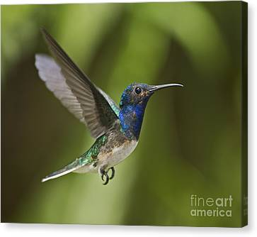Male Hummingbird Canvas Print - Spread Your Wings... by Nina Stavlund