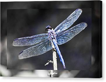 Spreading Her Wings Canvas Print by Linda Segerson