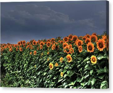 Spreading Sunshine Canvas Print by Sharon Batdorf