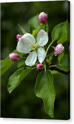 Canvas Print featuring the photograph Spring Apple Blossom Encircled By Pink Buds by Gene Walls