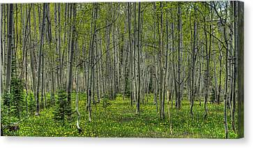 Spring Aspens Canvas Print by John McArthur