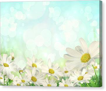 White Flower Canvas Print - Spring Background With Daisies by Sandra Cunningham