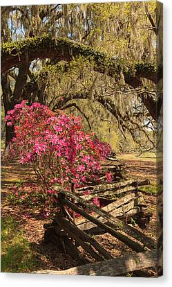 Canvas Print featuring the photograph Spring Beauty by Patricia Schaefer
