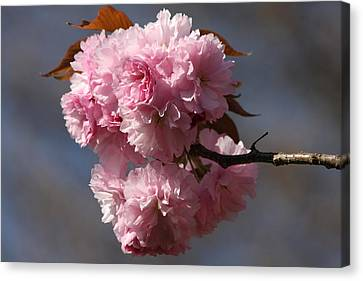 Spring Beauty Canvas Print by Vadim Levin