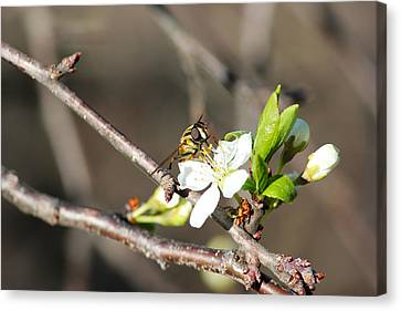 Spring Bee On Apple Tree Blossom Canvas Print