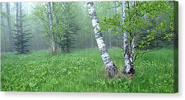 Spring Birch Canvas Print by Bill Morgenstern
