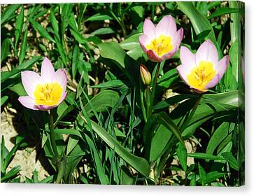 Leaves Canvas Print - Spring Crocus by Aimee L Maher Photography and Art Visit ALMGallerydotcom