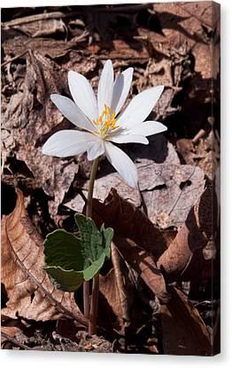 Spring Bloodroot Wildflower 2 Canvas Print by Lara Ellis