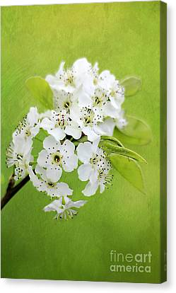 Spring Blooms Canvas Print by Darren Fisher