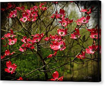 Canvas Print featuring the photograph Pink Spring Dogwood Blooms  by James C Thomas