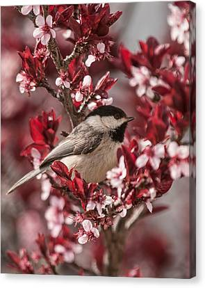 Spring Blossom Chickadee Canvas Print by Lara Ellis