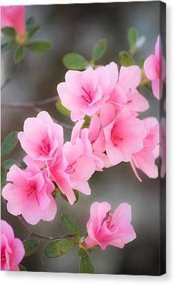 Pink Azalea Photograph By Parker Cunningham