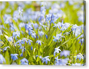 Spring Blue Flowers Canvas Print by Elena Elisseeva