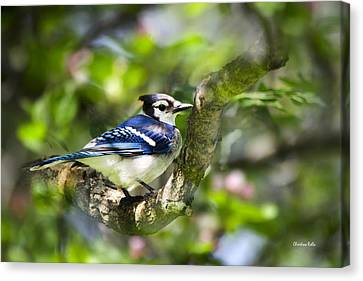 Spring Blue Jay Canvas Print by Christina Rollo
