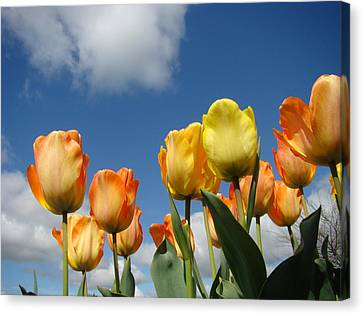 Spring Blue Sky White Clouds Orange Tulip Flowers Canvas Print by Baslee Troutman