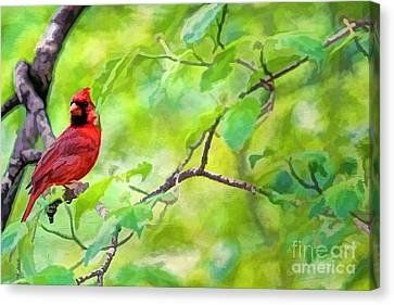 Spring Cardinal Canvas Print by Darren Fisher