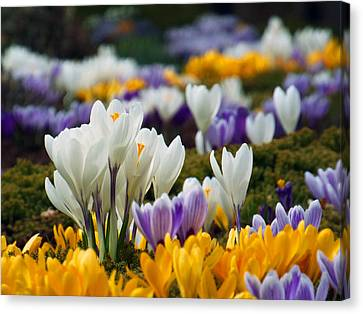 Canvas Print featuring the photograph Spring Crocus by Dianne Cowen