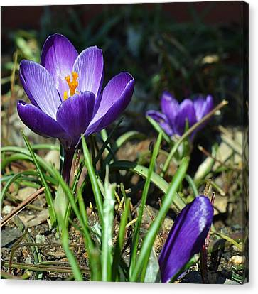 Canvas Print featuring the photograph Spring Comes by Mary Zeman