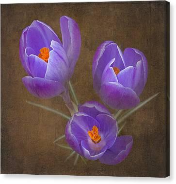 Spring Crocus Canvas Print by Angie Vogel