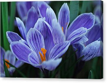 Spring Crocus Canvas Print by Julie Andel