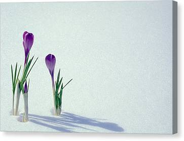 Purple Shadow Canvas Print - Spring Crocuses In Snow  by Anonymous