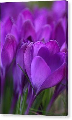 Spring Crocuses Canvas Print by Peggy Collins