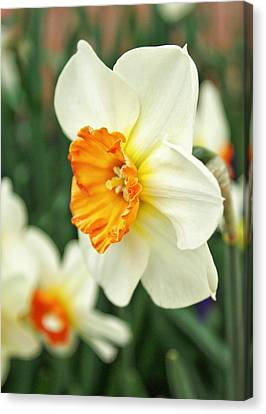 Spring Daffodil Canvas Print by Cathie Tyler